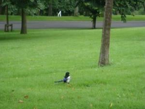 Black, White, and Blue Bird in Kelvingrove Park